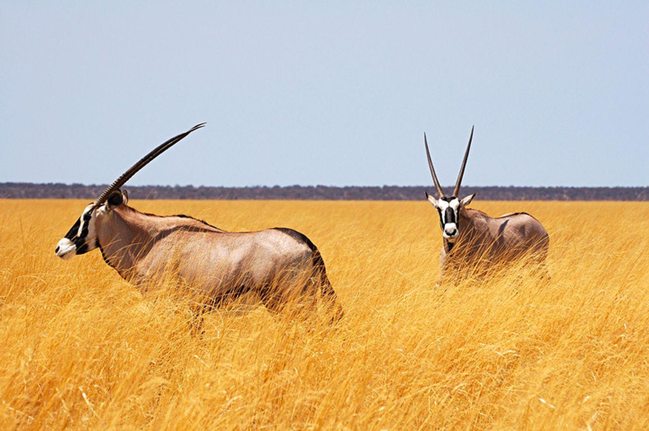 Rundreise Namibia Botswana Simbabwe Oryx