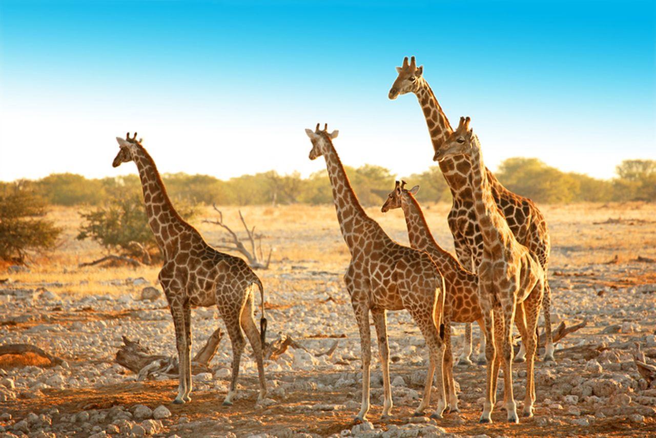 Rundreise Namibia Botswana Simbabwe Giraffe